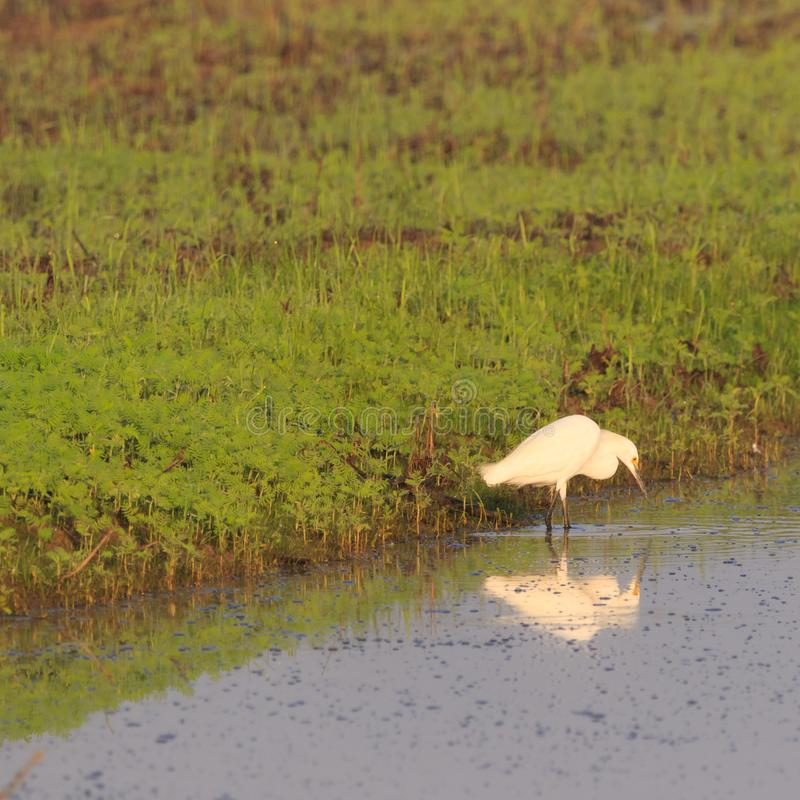 Reflecting. A Great Egret wades in the waters of Bald Knob Wildlife Refuge in Bald Knob, Arkansas 2017 royalty free stock images