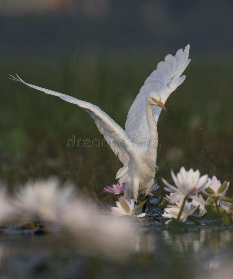 Egret in water lily pond. Great Egret in water lily pond stock photography