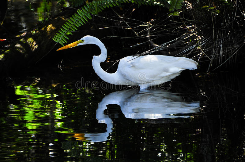 Great Egret or White Heron stock images