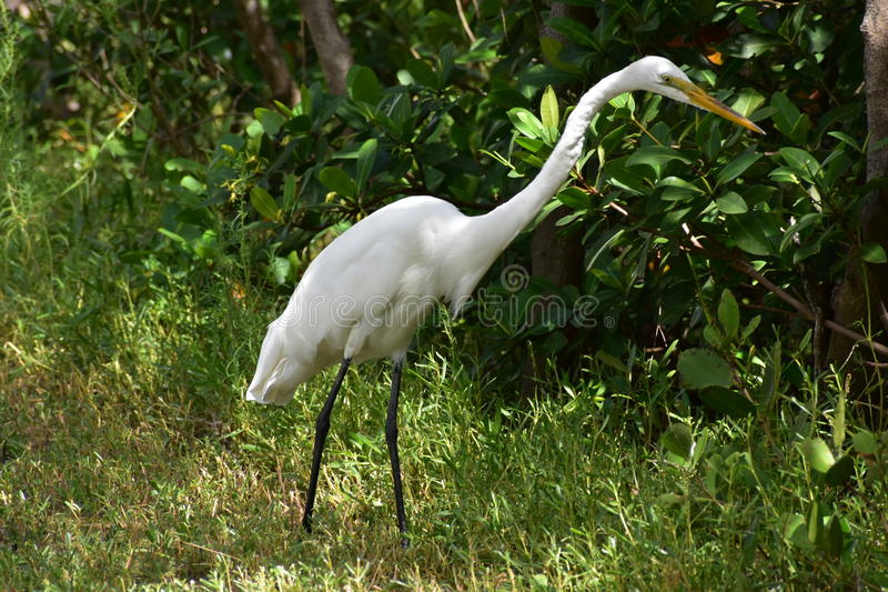 Great Egret In The Wild stock photos