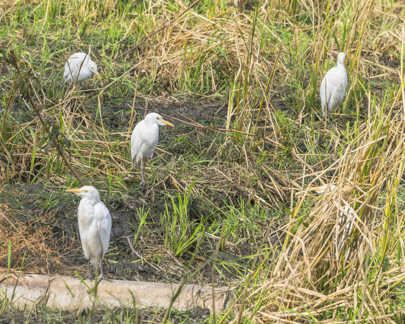 Great Egrets royalty free stock photos