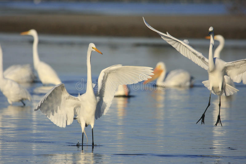 Great Egrets (Ardea alba) royalty free stock image