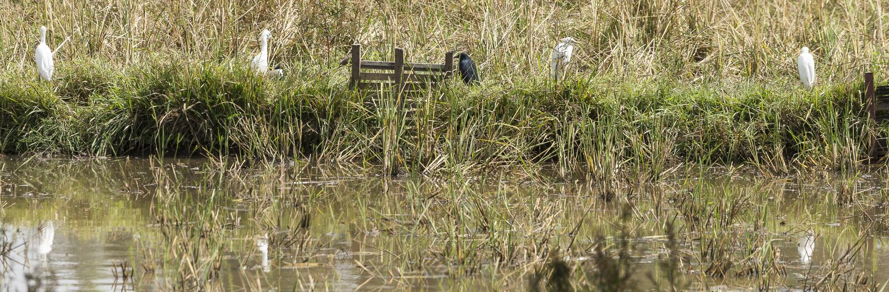 Great Egrets stock photo
