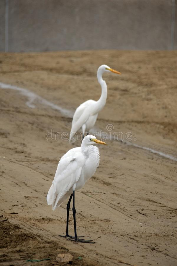Free Great Egrets On The Beach Stock Photos - 153223873