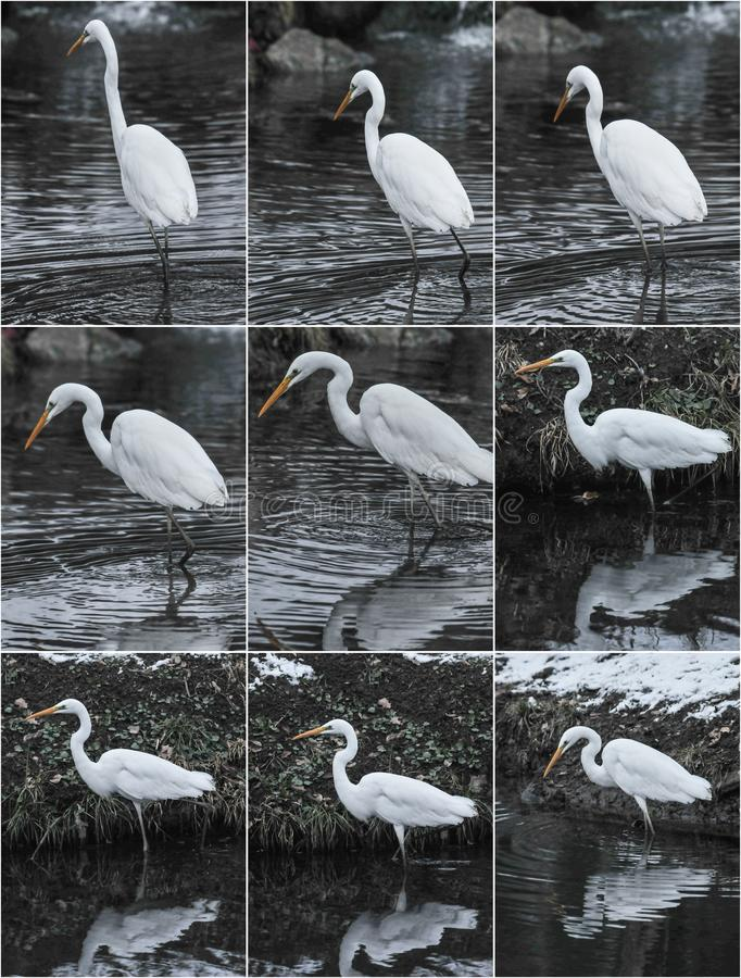 Great egrets in winter landscape. royalty free stock images
