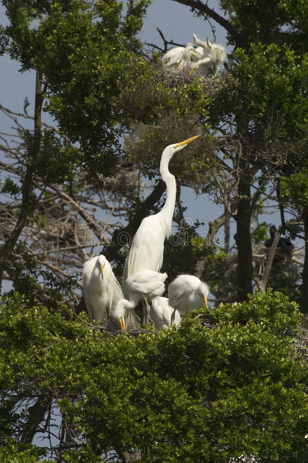 Great egrets and young stock image