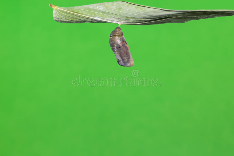 Great Evening Brown pupa royalty free stock image