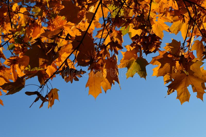 Crown of a maple tree stock photography