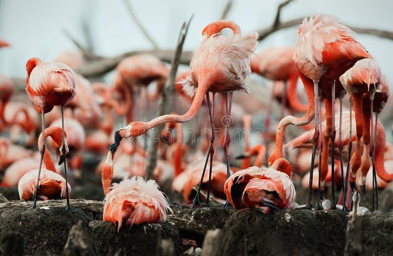 Download Great Flamingo  (Phoenicopterus Ruber) Royalty Free Stock Photo - Image: 20866005