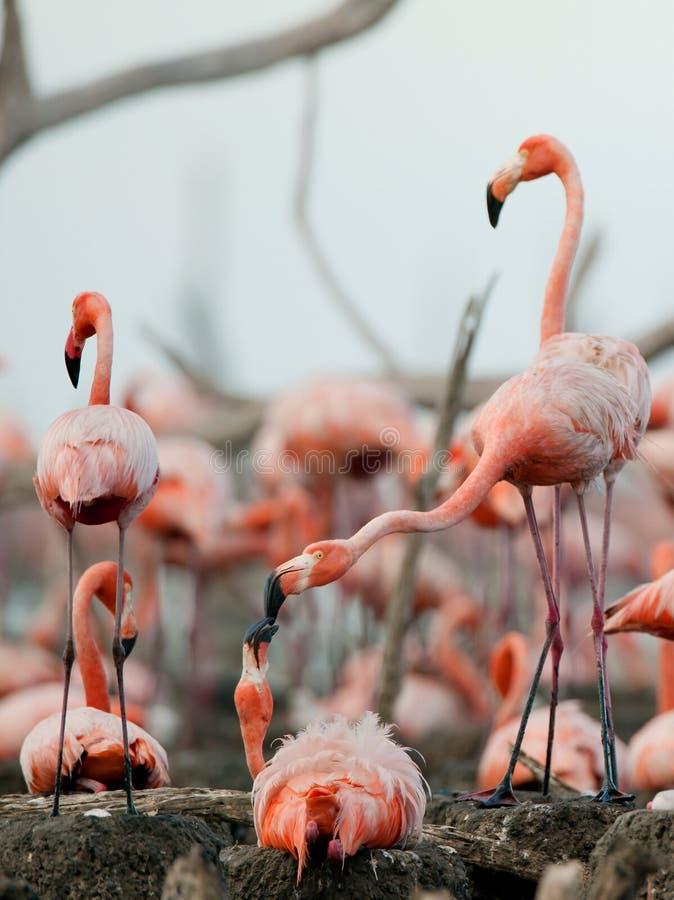 Download Great Flamingo  (Phoenicopterus Ruber) Stock Image - Image: 20866013