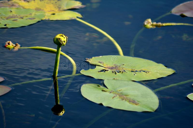 Everglades Spatterdock flowers. A great food source for many birds and other animals in the Everglades especially the purple gallinule that eats the flowers stock image