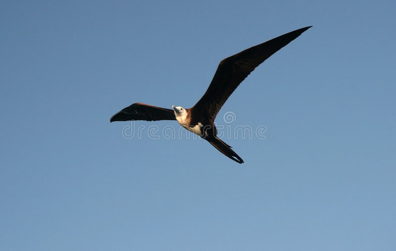 Great Frigatebird Flying royalty free stock photo