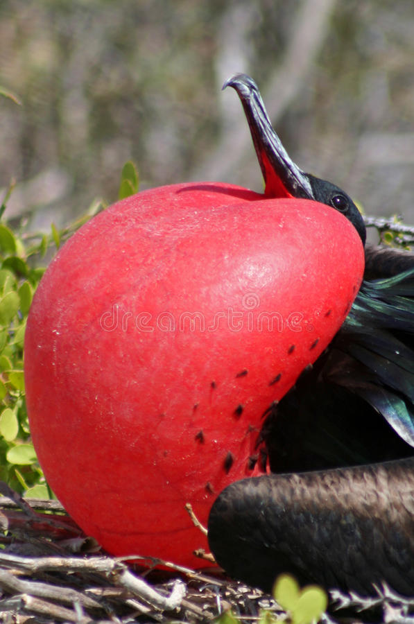 Great frigatebird male, Galapagos stock photo