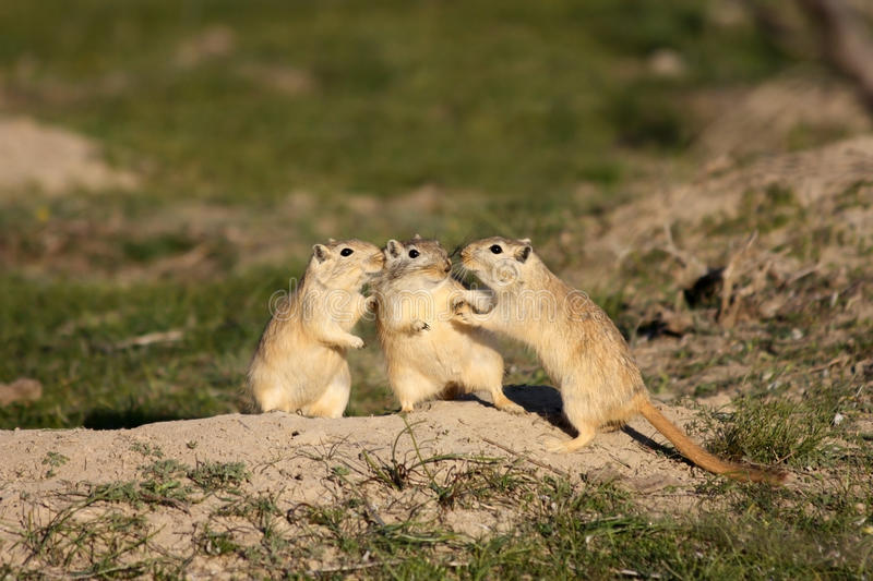Download Great gerbils stock photo. Image of mouse, color, national - 26177634