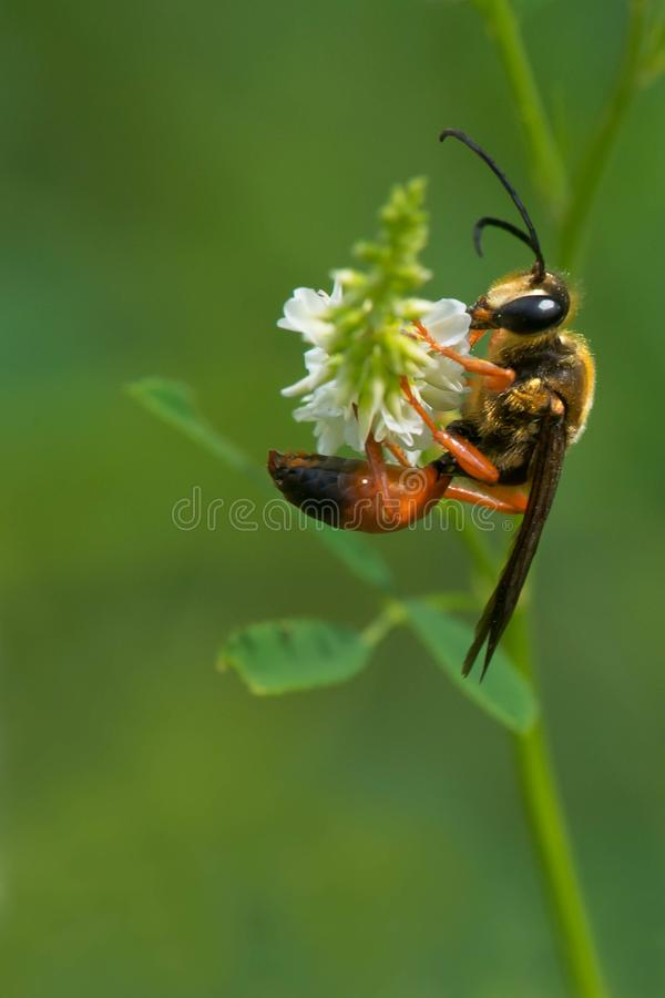 Download Great Golden Digger Wasp stock photo. Image of thread - 113475144