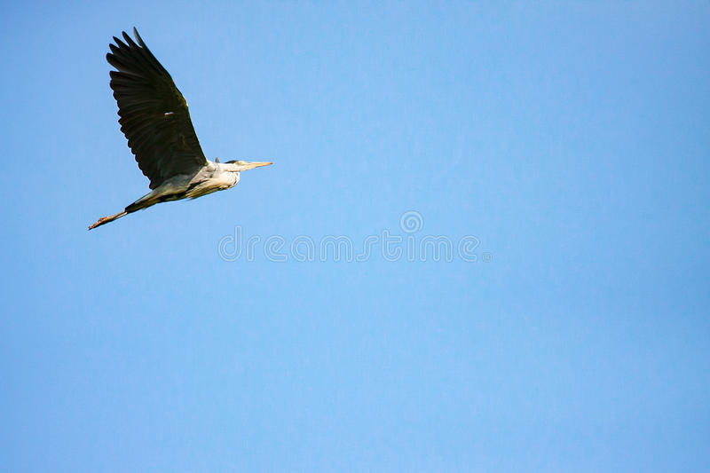 Great gray heron in flight stock images