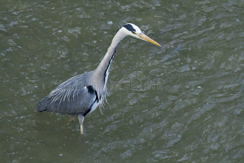 Great gray heron hunting. stock photography