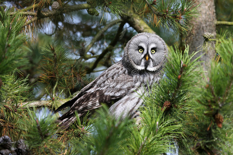Great gray owl. At a pine stock images