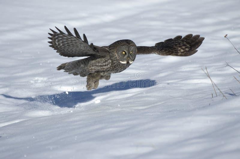 Great gray owl. In flight,winter hunt stock photos