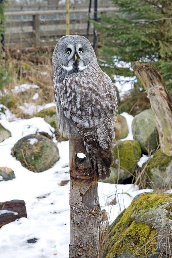 Great Gray Owl stock photo