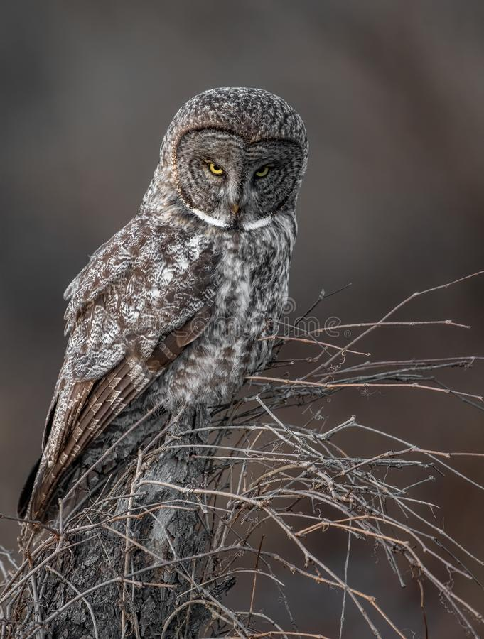 A great gray owl Portrait royalty free stock images