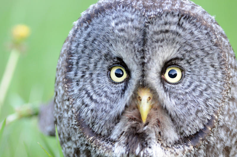 Great Gray Owl close up Face portrait royalty free stock photo