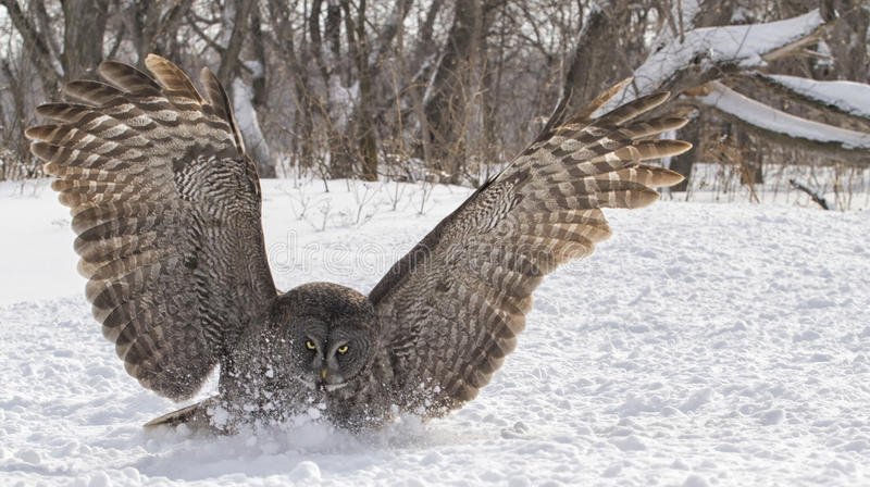 Great gray owl close up. Close up image of a great gray owl in flight, focused on catching its prey. Winter in Winnipeg, Manitoba stock photo