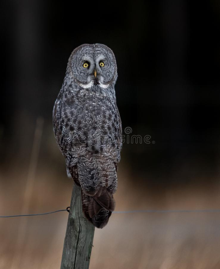 Great Gray Owl on a Fence Post royalty free stock image