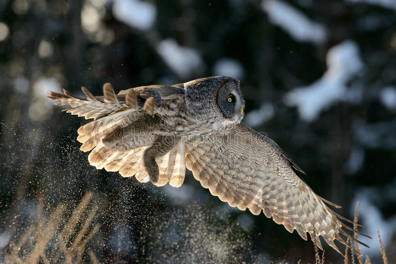 Great Gray Owl flying. In Quebec city, Quebec, Canada royalty free stock photos