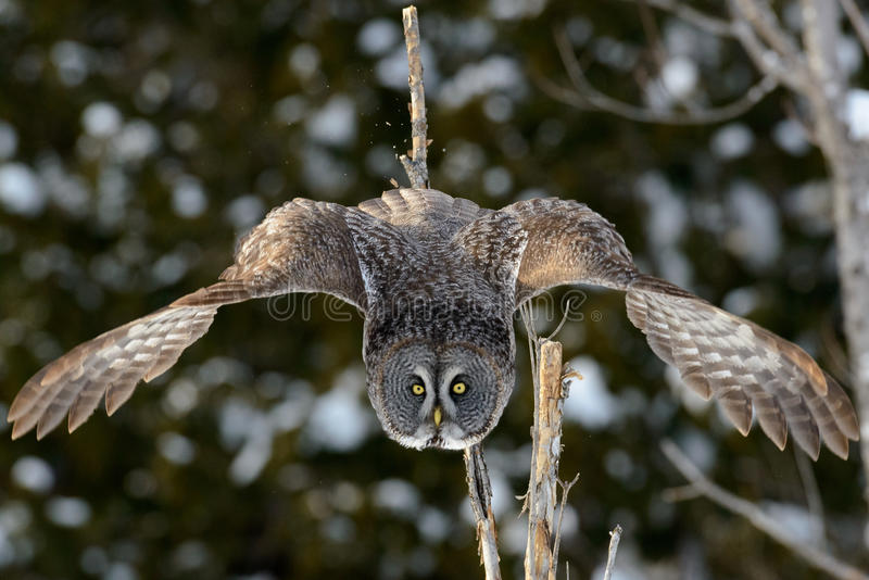Great Gray Owl flying. In Quebec city, Quebec, Canada royalty free stock image