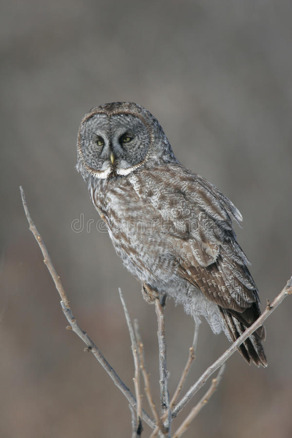 Great Gray Owl perched in Aspen stock images