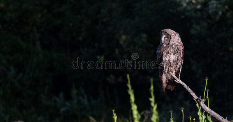 Great gray owl perched dark background stock images