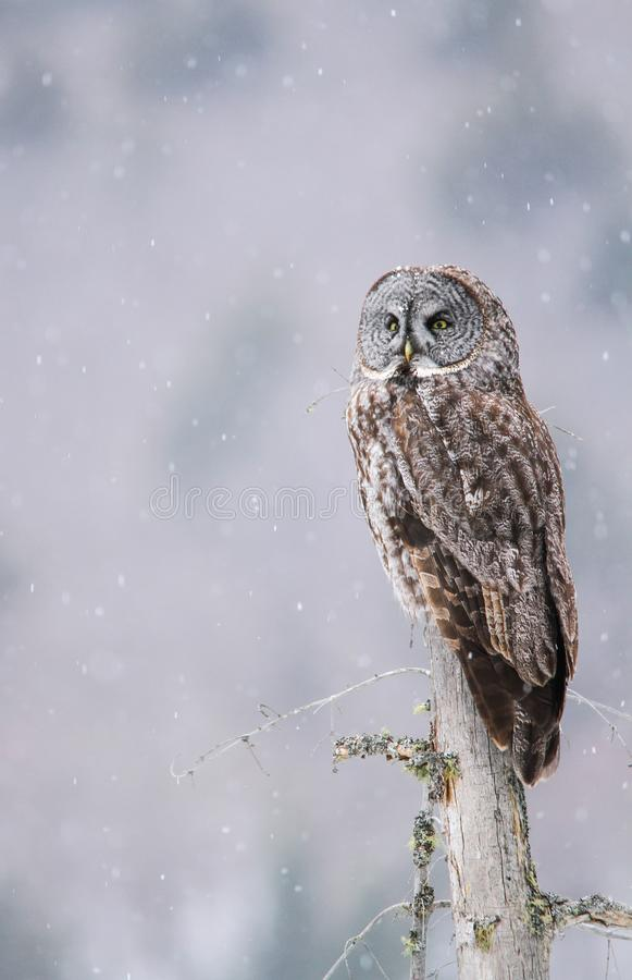 Great Gray Owl Perched On A Tree Stump While Snow Lightly Falls stock photo