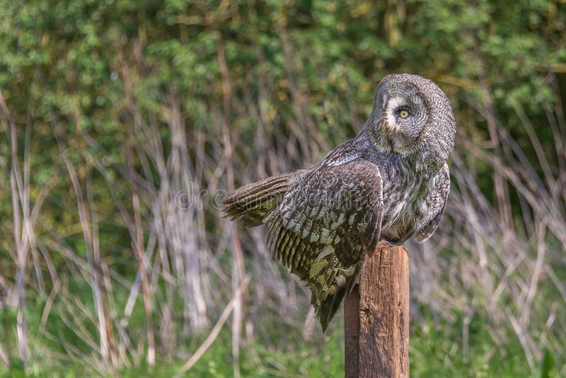Great gray owl perched in an unusual pose stock images