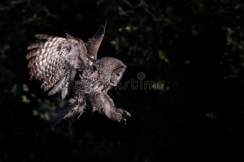 Great gray owl ready to attack. A hunting great gray owl (strix nebulosa) extends talons and opens wings against dark background stock photos