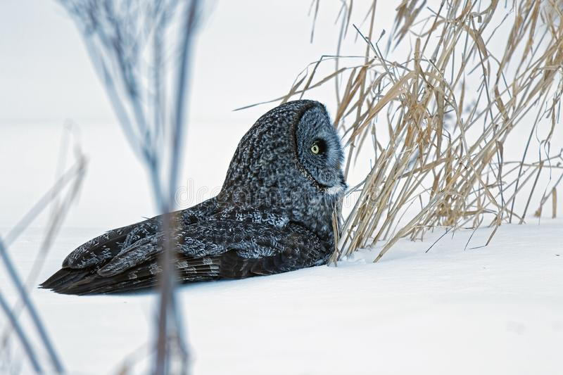 Great Gray Owl in the Snow royalty free stock photography