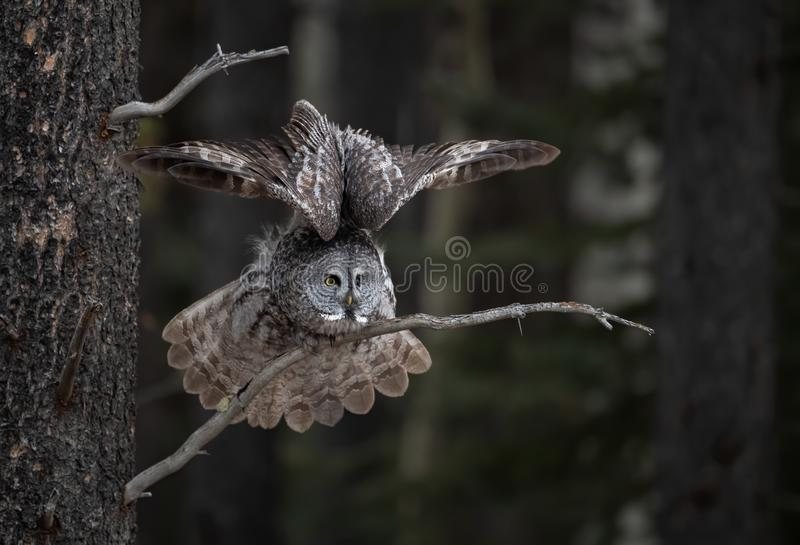 Great Gray Owl on a Tree Branch. Great Gray Owl with wings up landing on a tree branch stock image