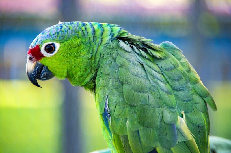 Great green macaw Ara ambiguus. royalty free stock images