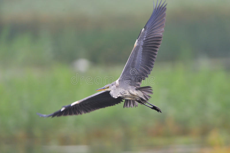 Download Great Grey Heron stock image. Image of natural, outside - 26004321