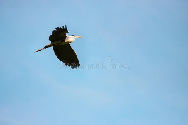 Great Grey Heron ardea cinerea during flight in sky royalty free stock photography