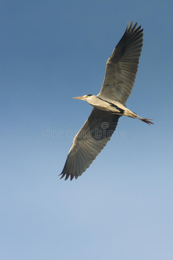 Download Great Grey Heron In Flight Against The Blue Sky / Stock Image - Image: 18220855