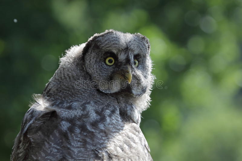 Great Grey Owl. The gazinh great grey owl royalty free stock image