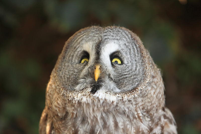 Great grey owl. The detail of great grey owl stock image