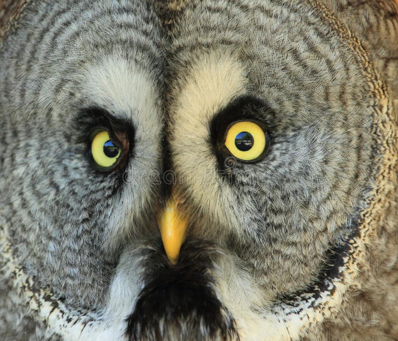 Download Great grey owl stock image. Image of sooty, gray, spruce - 24872747