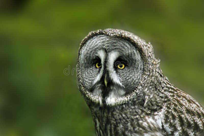Great Grey Owl Free Stock Photos