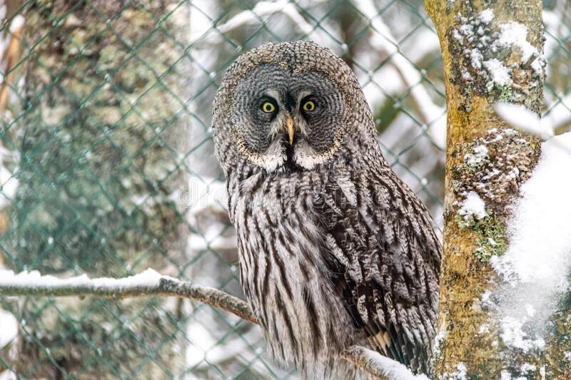 Great grey owl in artic Finland stock images