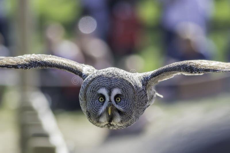 Great Grey Owl bird of prey in level flight facing camera. royalty free stock image