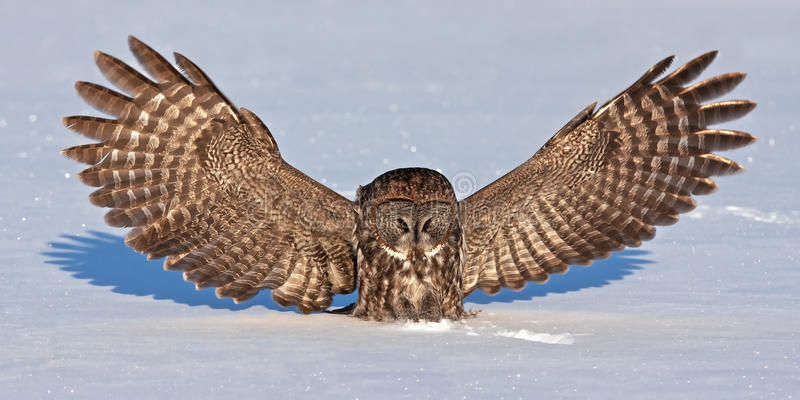 Great grey owl (Strix nebulosa) isolated against a white background catches it prey on a snow covered field in Canada stock photo