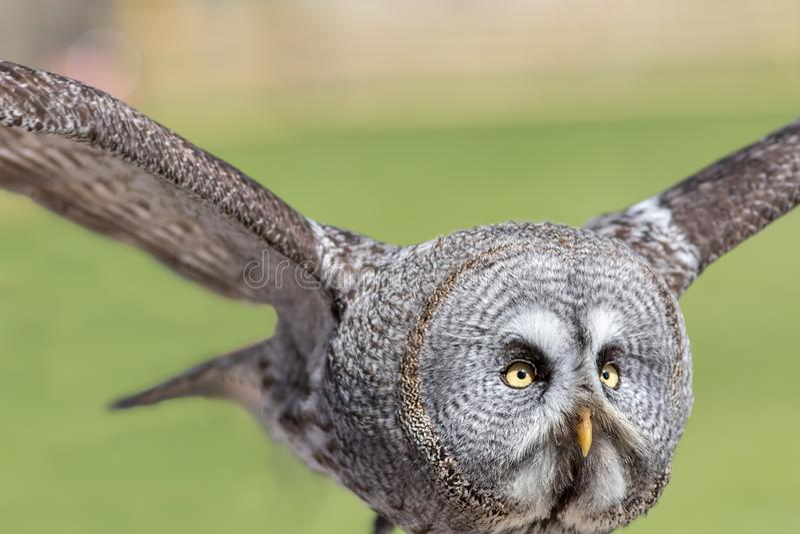 Great grey owl. Close up of facial disc in flight stock image