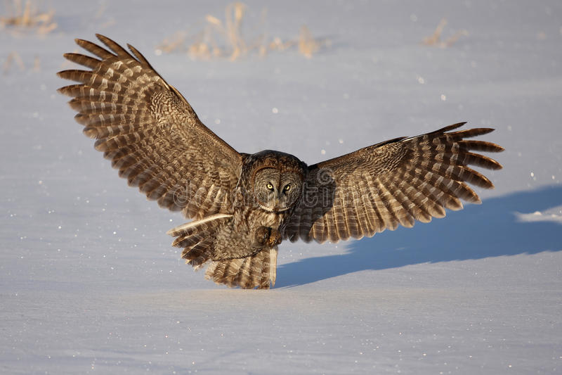 Great grey owl (Strix nebulosa) isolated against a white background hunting over a snow covered field in Canada stock photo